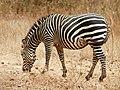 Equus quagga boehmi (grazing).jpg