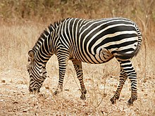 zebra wikipedia