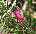 Eremophila alternifolia.jpg