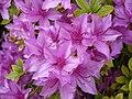 Ericaceae rhododendron yedoense maxim. var.poukhanense nakai.JPG