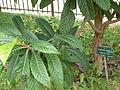 Eriobotrya japonica-Jardin des Plantes 02.JPG