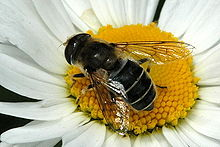 Eristalis.jugorum.female.jpg