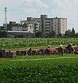 Erntearbeiter - panoramio.jpg
