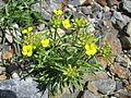 Erysimum sylvestre subsp. pyrenaicum (14559708706).jpg