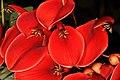 Erythrina crista-galli 5Dsr 4961-01.jpg