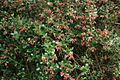 Escallonia-rubra-flowers-foliage.jpg