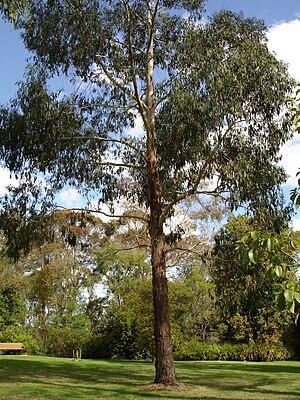 Eucalyptus ovata - Image: Eucalyptus ovata