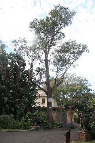Eucalyptus robusta - Tree planted 1813, Royal Botanic Gardens, Sydney