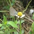 Euchrysops cnejus - Gram Blue 06.jpg