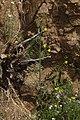 Eulobus californicus 7910.JPG