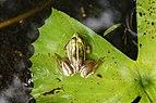 Euphlyctis hexadactylus 3427.jpg
