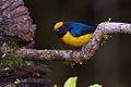 Euphonia xanthogaster, Orange-bellied Euphonia.jpg