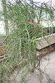 Euphorbia Stenoclada & Madagascar (1) (11983008955).jpg