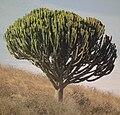 Euphorbia Tanzania 3828 Nevit cropped.jpg