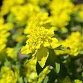 Euphorbia epithymoides-IMG 7205.JPG