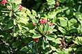 Euphorbia milii 18zz.jpg