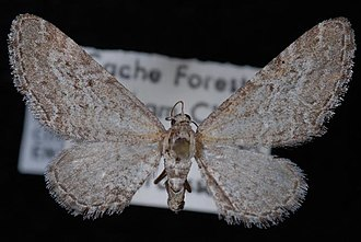 Eupithecia behrensata - Image: Eupithecia behrensata