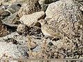 Eurasian Skylark (Alauda arvensis) (39212403925).jpg