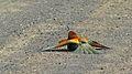European Bee-Eater (Merops apiaster) (6032426641).jpg
