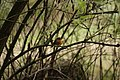 European Robin - Erithacus rubecula (45114886021).jpg