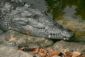 Crocodile d'Amérique dans les Everglades A 900...