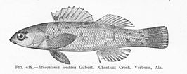 FMIB 51991 Etheostoma jordani Gilbert Chestnut Creek, Verbena, Ala.jpeg