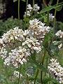 Fagopyrum esculentum flowers, Boekweit bloemen.jpg