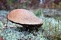 Fall Mushroom in Lichen (15437937696).jpg