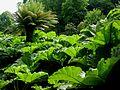 Falmouth - Trebah Garden, Gunnera manicata.jpg