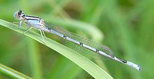 Familiar bluet.jpg