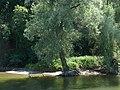 Fast schon Mangroven an der Donau bei Weltenburg.jpg