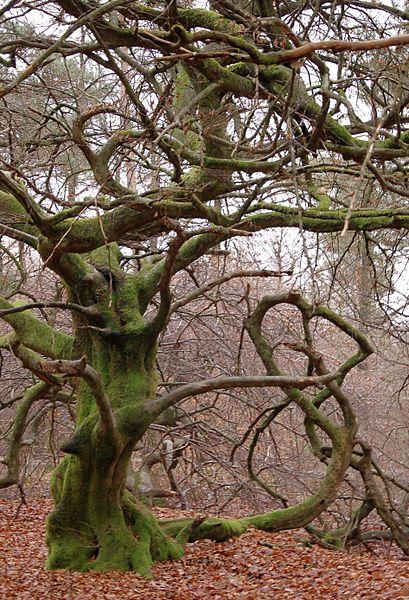 Les Faux de Verzy en hiver, par Charlotte Noblet (source : Wikipedia)