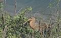 Federally endangered Ridgway's rail feasts on crab (26575235618).jpg