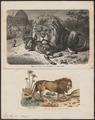 Felis leo - 1700-1880 - Print - Iconographia Zoologica - Special Collections University of Amsterdam - UBA01 IZ22100009.tif