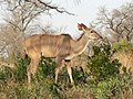 Female Kudu (2896923230).jpg