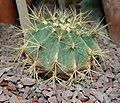 Ferocactus glaucescens1000.jpg