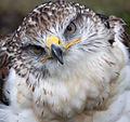 Ferruginous Hawk (3863032876).jpg