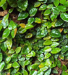 Ficus pumila plant on a wall.jpg