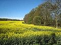 Field of oilseed rape, Merrington Mill Farm - geograph.org.uk - 404426.jpg