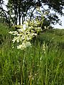 Filipendula vulgaris sl3.jpg