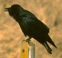 Fish crow on post