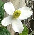 Fish mint flower (মছন্দৰী ফুল).jpg