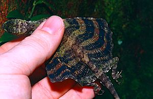 Draco (genus) - Size of Draco quinquefasciatus in comparison to a human hand, from Sarawak, Malaysia