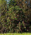 Fleischrote Rosskastanie Queen-Auguste-Victoria-Park (Umkirch) jm30160.jpg