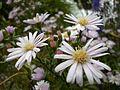 Fleur-blanche-pistil-jaune VAN DEN HENDE ALAIN CC -BY-SA 4 0 08500 bg pdp -1449061178Wgf.jpg