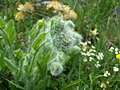 Fleur inconnue - panoramio (9).jpg