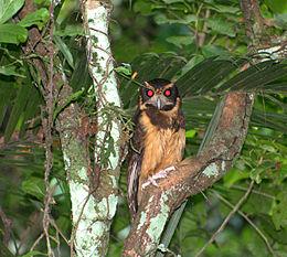 Flickr - Dario Sanches - MURUCUTUTU-DE-BARRIGA-AMARELA (Pulsatrix koeniswaldiana)