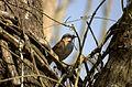 Flickr - Dario Sanches - TICO-TICO (Zonotrichia capensis ) (1).jpg