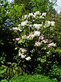 Flickr - brewbooks - Rhododendron - John M's Garden (5).jpg