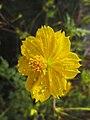 Flor Cosmos Amarelo Claro com Gotas de Água.jpg